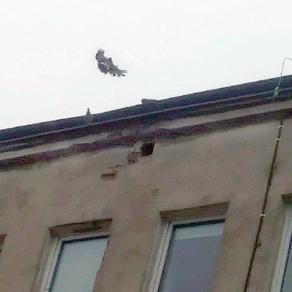 Gołębie z poddasza budynku przychodni wróciły do swoich gniazd