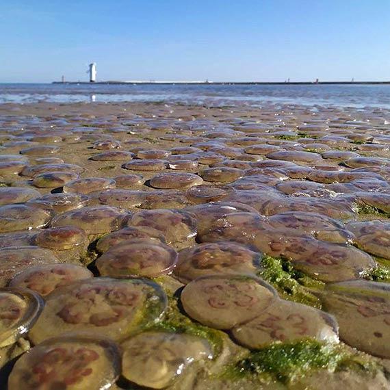 Jest sierpień, w Świnoujściu na plaży są meduzy!