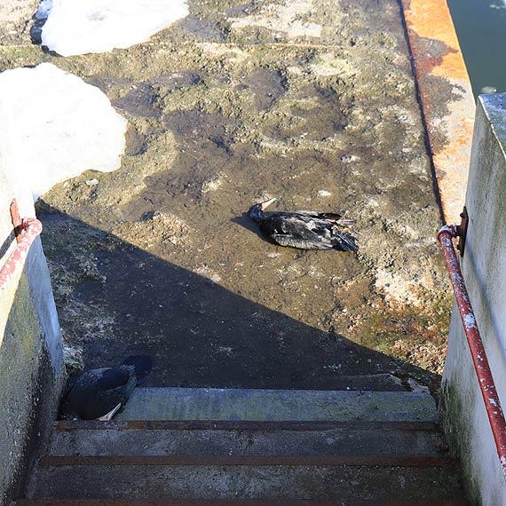 Czy kormorany dosięgła ptasia grypa?