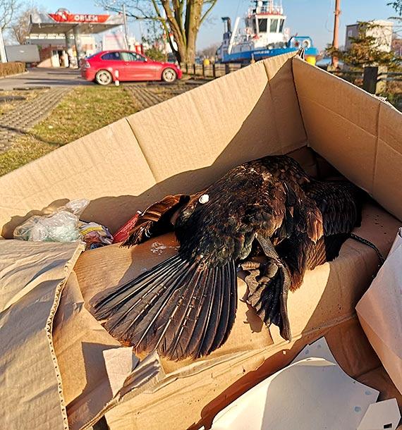 Na dzikiej plaży leży trzydzieści martwych kormoranów!