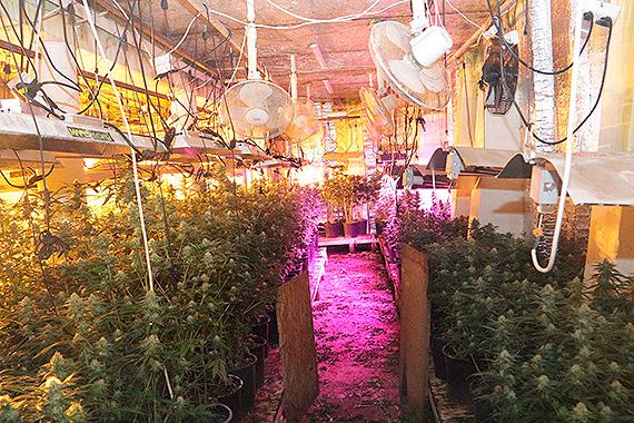 Zlikwidowana nielegalna plantacja konopi i linia produkcyjna do wytwarzania marihuany