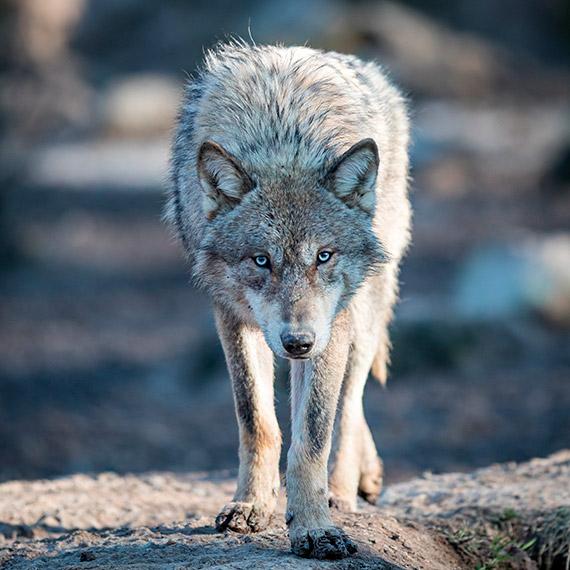 Wilków ci u nas dostatek?