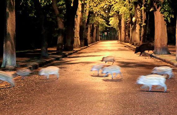 Dzicza atrakcja miasta powraca. Uważajcie na lochy z młodymi nocą, zwłaszcza w parku! Zobacz film!