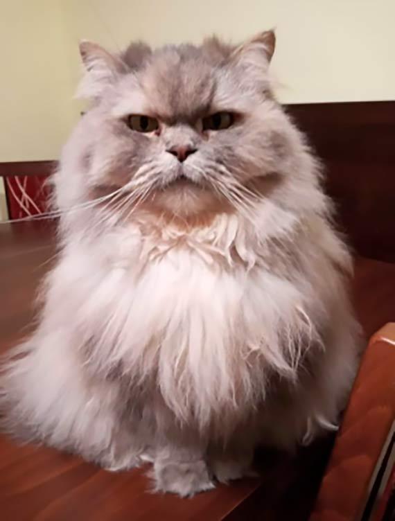 Zaginęła perska kotka