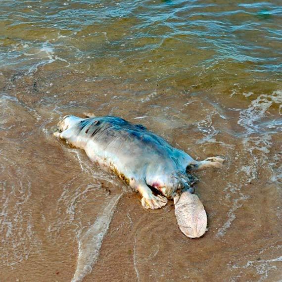 Martwy bóbr na plaży w Świnoujściu