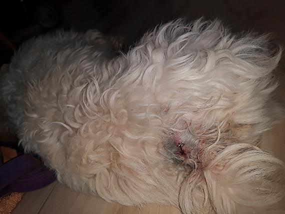 Rozwścieczony dzik zaatakował małego bezbronnego pieska. Właścicielka: Rzucał nim jak zabawką, wbijając mu kieł w brzuch!