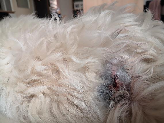 Rozwścieczony dzik zaatakował małego bezbronnego pieska. Właścicielka: Rzucał nim jak zabawką, wbijając mu kieł w brzuch! [2]